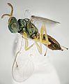 Pteromalus puparum. Chalcid Wasp. (taken by Martin Cooper) - Flickr - gailhampshire (1).jpg