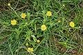Pulicaria wightiana (Sontikli) in Hyderabad, AP W IMG 0070.jpg