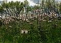 Pulsatilla in Kharkiv steppe.jpg