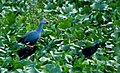 Purple Moorhen with chicks (2744168466).jpg