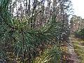 Puszcza Zielonka w okolicy Pruszewca (4).jpg