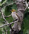 Pycnonotus xantholaemus.jpg