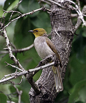 Yellow-throated bulbul - Image: Pycnonotus xantholaemus