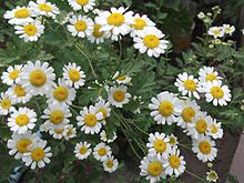 Pyrethrum cinerariifolium-3-xavier cottage-yercaud-salem-India.JPG