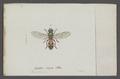 Pyrophaena - Print - Iconographia Zoologica - Special Collections University of Amsterdam - UBAINV0274 039 02 0093.tif