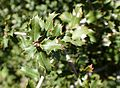 Quercus coccifera kz2.jpg