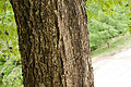 Quercus crispula 04.jpg
