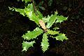 Quercus faginea 01 by-dpc.jpg