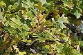 Quercus macrocarpa BW-8141.jpg