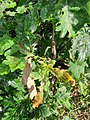 Quercus pubescens, Fagaceae 07.jpg