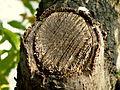 Quercus trojana (10).JPG