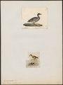 Querquedula discors - 1700-1880 - Print - Iconographia Zoologica - Special Collections University of Amsterdam - UBA01 IZ17600451.tif