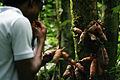 Récolte des produits forestiers non ligneux à Tayap.jpg