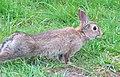 Rabbit having a Stretch. - Flickr - Ozzy Delaney.jpg