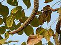 Radermachera xylocarpa (Roxb.) Roxb. ex K.Schum. (3306492889).jpg