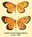 Radiata multipunctataLathy1903OD.jpg
