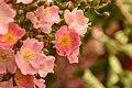 Rampling Rose (211827157).jpeg