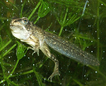 Almost functional common frog with some remains of the gill sac and a not fully developed jaw Rana Temporaria - Larva Final Stage.jpg