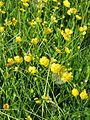 Ranunculus acris acris-Salzburg, Flachgau, Henndorf-bE-HdN-1649a.jpg