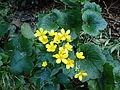 Ranunculus cortusifolius kz4.JPG