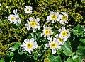 Ranunculus lyallii in Mount Cook NP 01.jpg