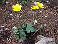 Ranunculus oreophilus a2.jpg