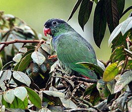 Red-billed Parrot.jpg