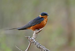 Red-breasted Swallow (Hirundo semirufa) (30987147586).jpg