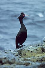 Red-faced Cormorant on Pribilof Islands, 5-1979 2.jpg