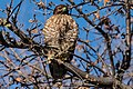 Red-shouldered Hawk (24422217782).jpg
