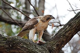 Red-tailed Hawk eating a squirrel (15919213342).jpg