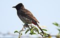 Red-vented Bulbul Pycnonotus cafer by Dr. Raju Kasambe DSCN0486 (1).jpg