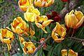 Red & yellow tulips in Victorian garden Quex House Birchington Kent England.jpg