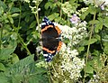 Red Admiral, Isle of Man - geograph.org.uk - 211311.jpg