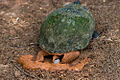 Red Eared Slider laying egg.jpg