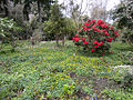 Red Rhododendron (6905670588).jpg