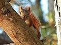 Red Squirrel (15682700987).jpg