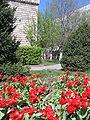Red Tulips in Almaty.jpg