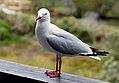 Red billed gull (11744562393).jpg