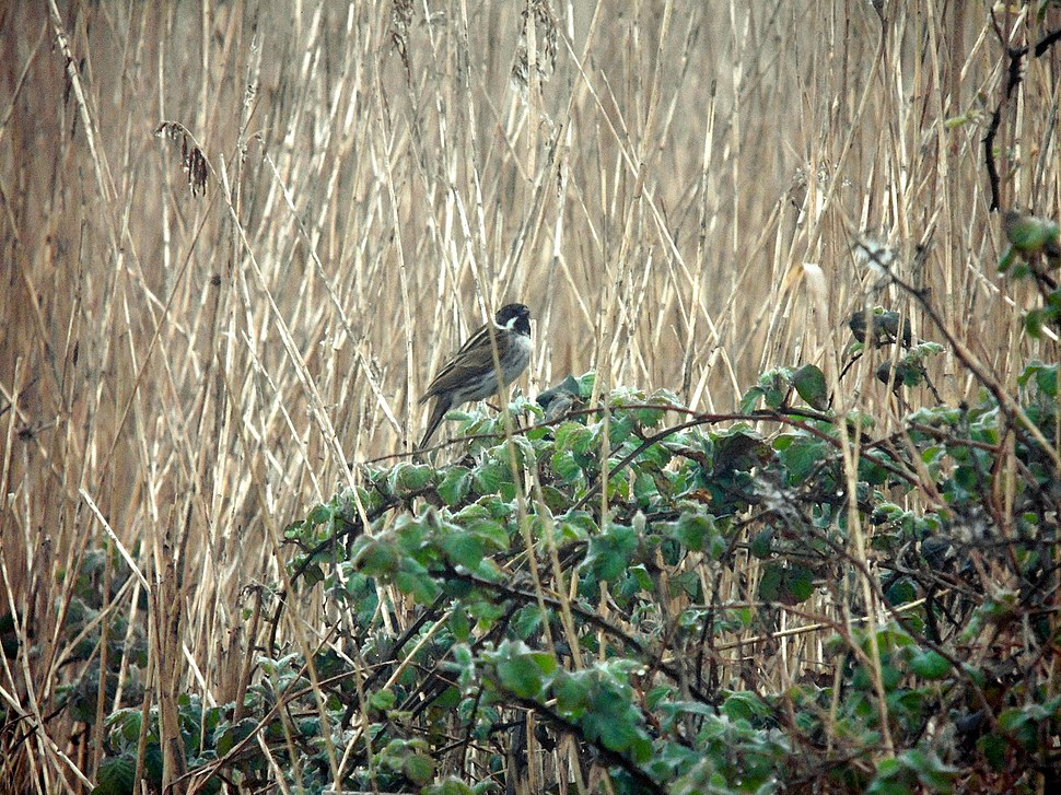 Reed Bunting on Newport Wetlands RSPB Reserve Fenced Pond