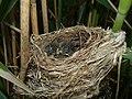 Reed Warbler Nest 06-06-11 (5805912954).jpg