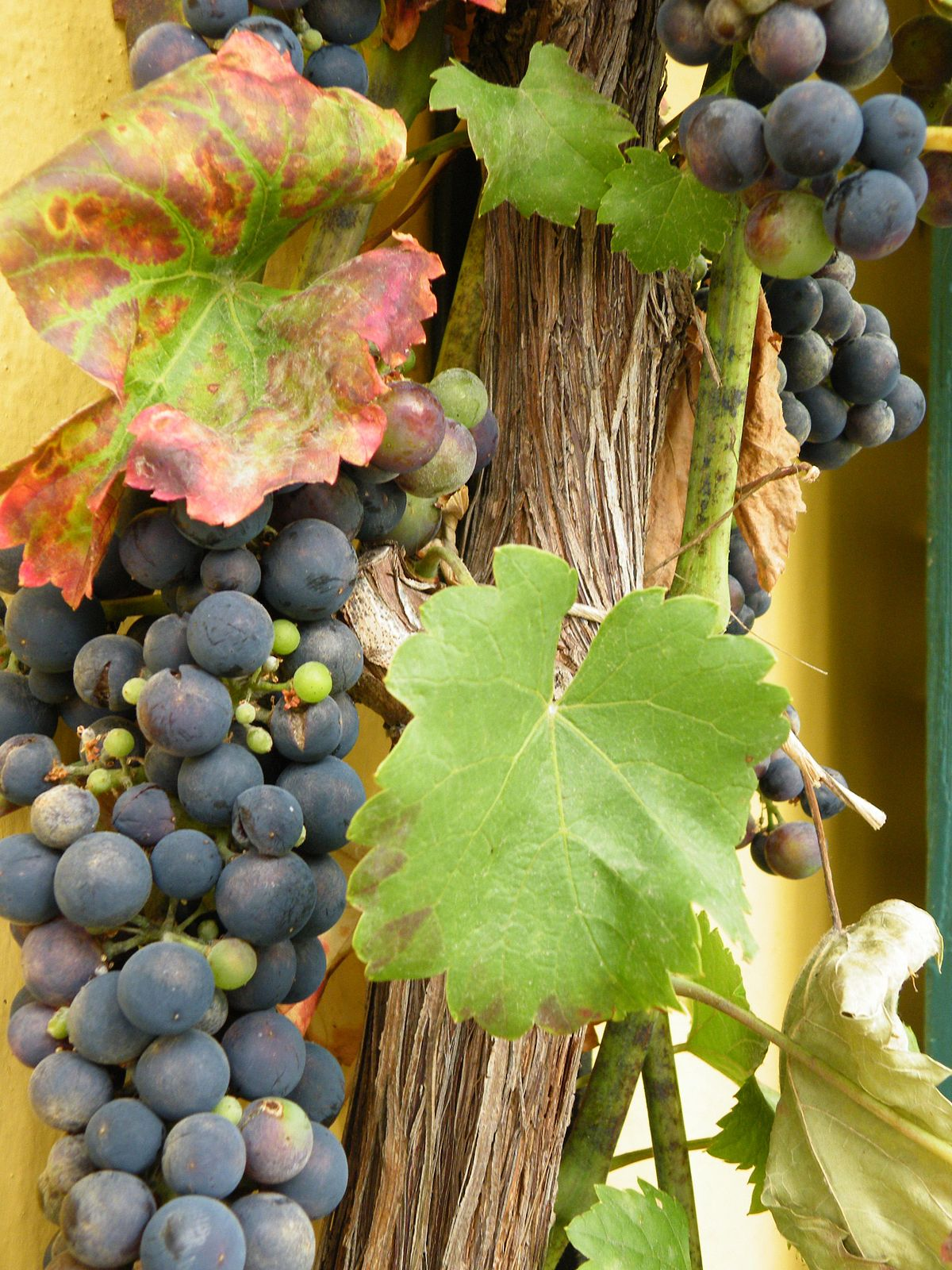 Grapes Sphinx. Description of the variety. Growing grapes