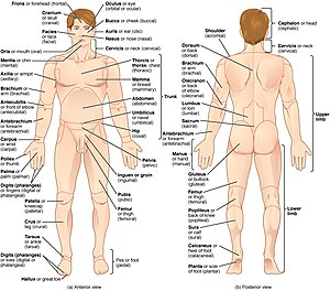 Anatomical terminology - The human body is shown in anatomical position in an anterior view and a posterior view. The regions of the body are labeled in boldface.