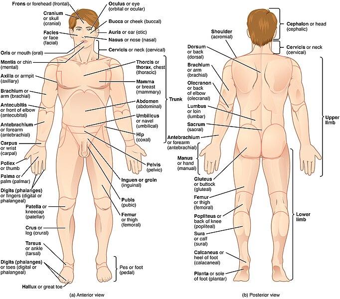 File:Regions of Human Body.jpg - Wikimedia Commons