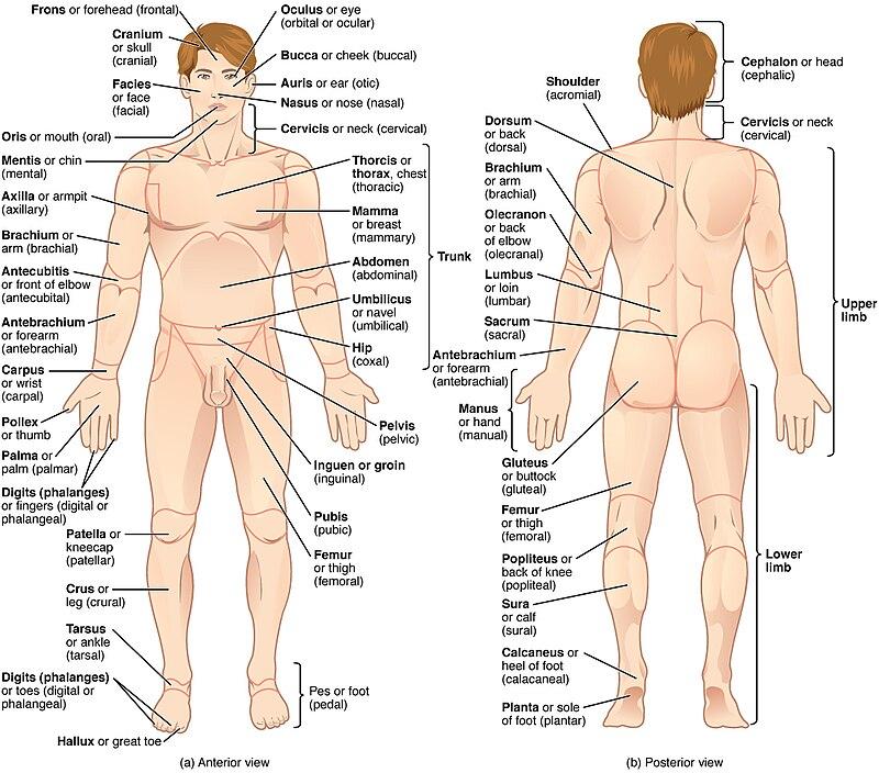 Anatomical Terminology Wikiwand