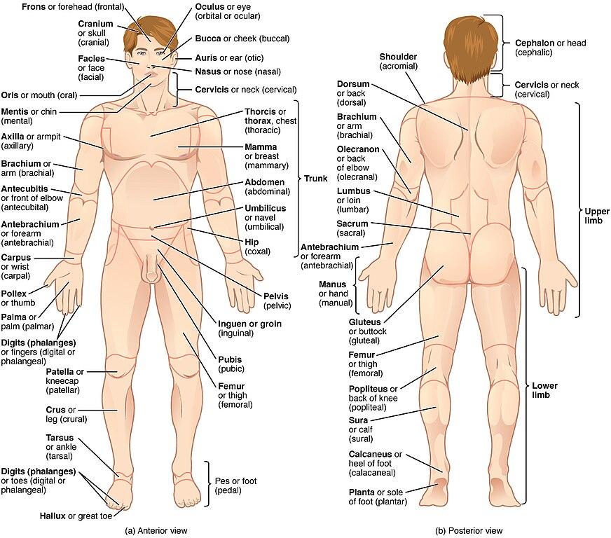 Regions Of Human Bodyg