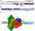 Replication-transcription complex for Coronaviruses.tif