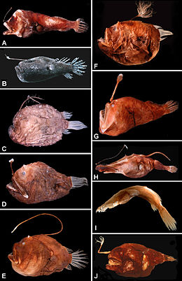 (A) Centrophryne spinulosa, 136 mm SL (B) Cryptopsaras couesii, 34.5 mm SL (C) Himantolophus appelii, 124 mm SL (D) Diceratias trilobus, 86 mm SL (E) Bufoceratias wedli, 96 mm SL (F) Bufoceratias shaoi, 101 mm SL (G) Melanocetus eustalus, 93 mm SL (H) Lasiognathus amphirhamphus, 157 mm SL (I) Thaumatichthys binghami, 83 mm SL (J) Chaenophryne quasiramifera, 157 mm SL.