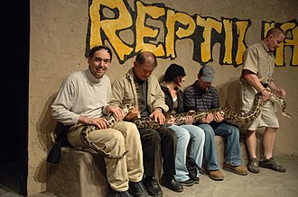 Reptilia (zoo) - During a live reptile show, volunteers from the audience are requested to assist in the handling of a 5-meter-long (approx. 16-foot) female Burmese python.