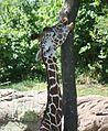 ReticulatedGiraffe2.jpg